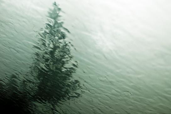 wet window Pine