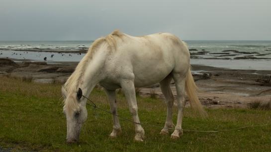 Te Araroa horse