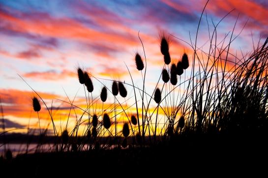 Bunnytail sunset_5343
