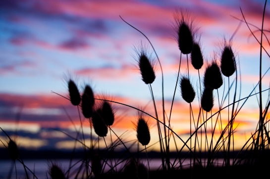 Bunnytail sunset_5347