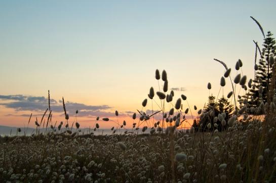 Bunnytail sunset, Midway